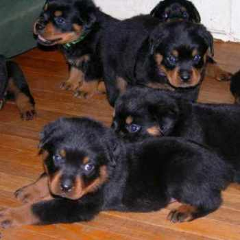 Free Rottweiler Puppies In Indiana