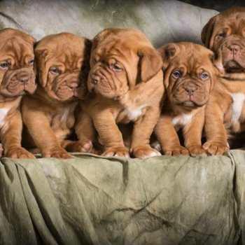 French Mastiff Puppies For Sale In Va