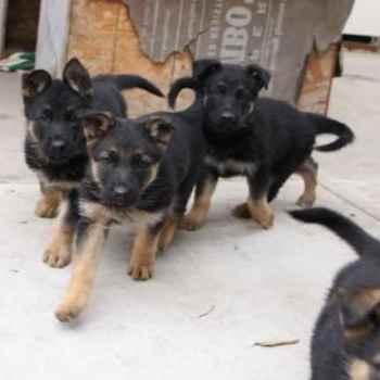 Full Blooded German Shepherd Puppies For Sale