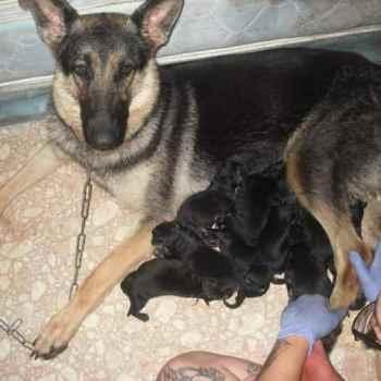 Full Blooded German Shepherd