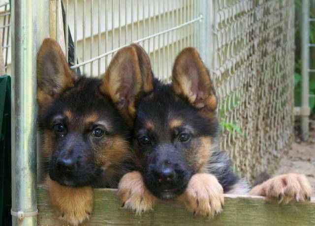 Full Breed German Shepherd Puppies