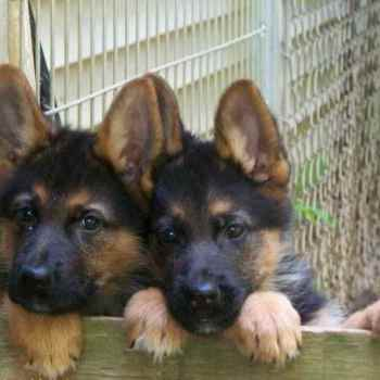 Full Breed German Shepherd Puppy