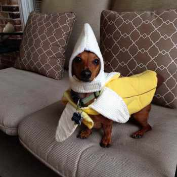 Funny Dachshund Costumes