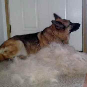 Furminator German Shepherd