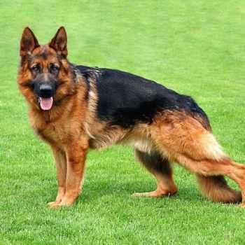 German German Shepherd Dog