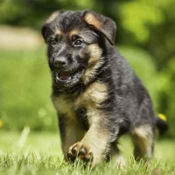 German German Shepherd Puppies