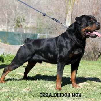 German Rottweiler For Sale In California