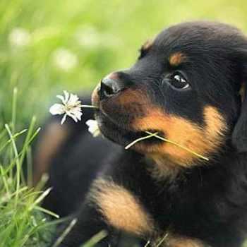 German Rottweiler Puppies Az