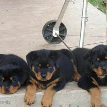 German Rottweiler Puppies For Sale In Houston