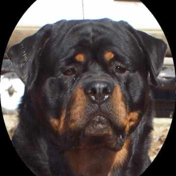 German Rottweiler Puppies For Sale In Indiana