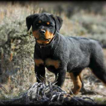 German Rottweiler Puppies For Sell