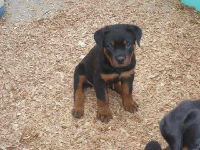 German Rottweiler Puppies Ohio