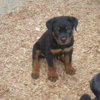 German Rottweiler Puppies Price