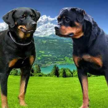German Rottweiler Vs American Rottweiler