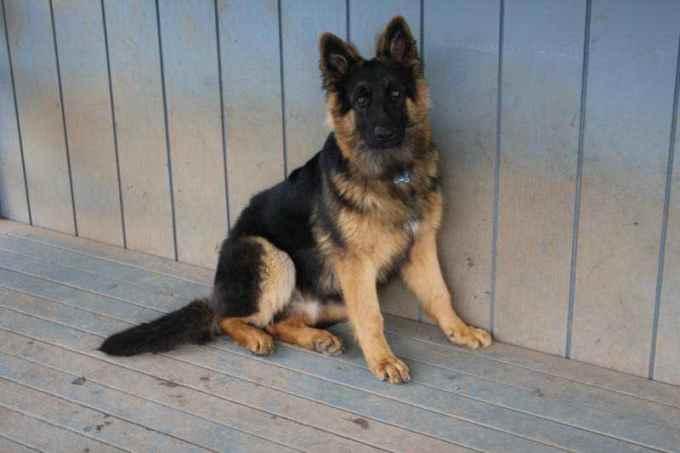 German Shepherd 6 Months