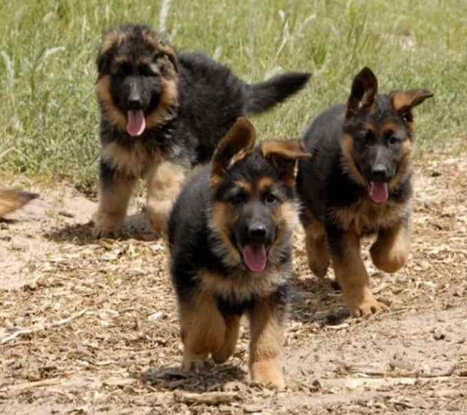 German Shepherd Adoption Colorado
