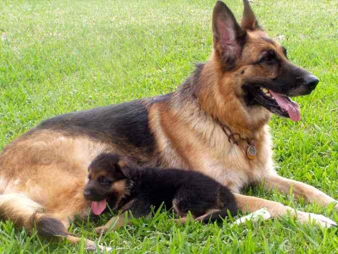 German Shepherd Adoption Florida