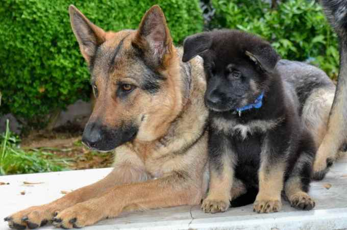 German Shepherd Adoption Md