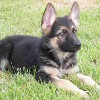 German Shepherd Adoption Near Me