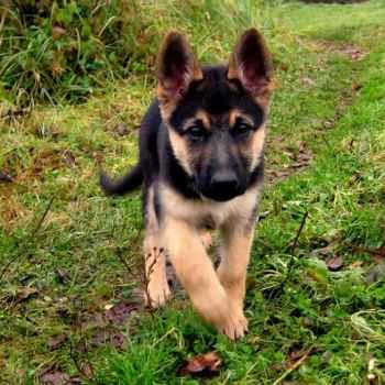 German Shepherd Adoptions Near Me