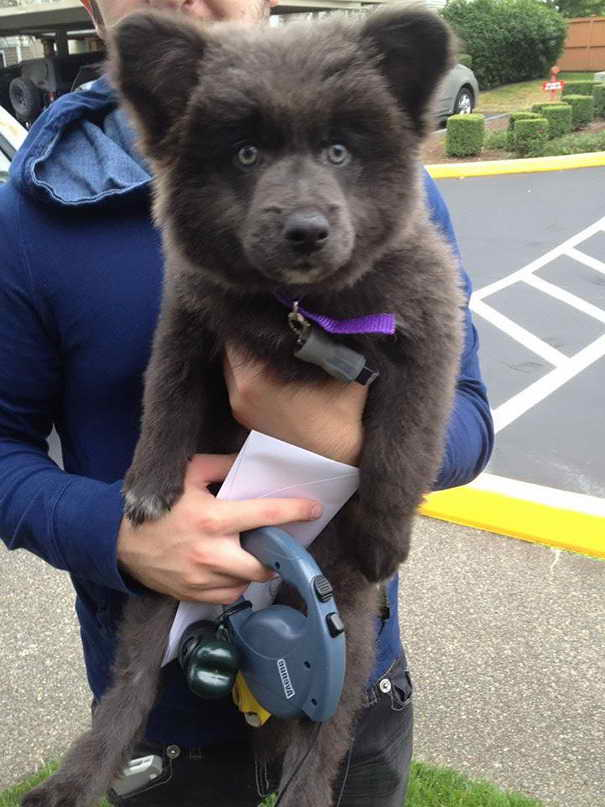 German Shepherd Akita Corgi Mix Puppies For Sale