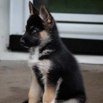 German Shepherd And Husky Mix Puppies