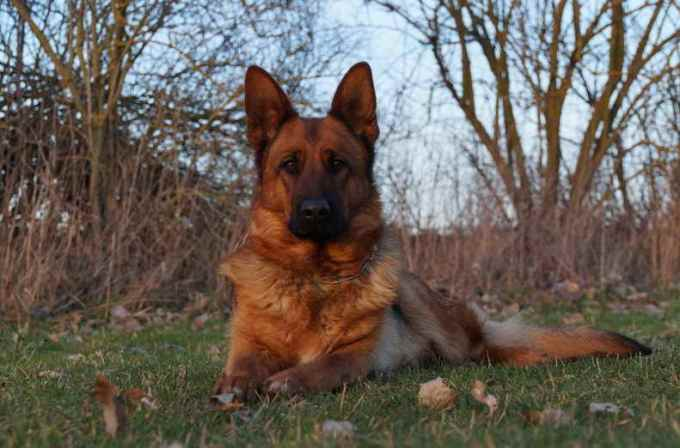 German Shepherd Austin Tx