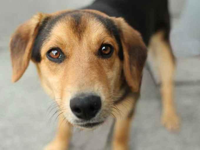 German Shepherd Beagle Mix Puppies For Sale