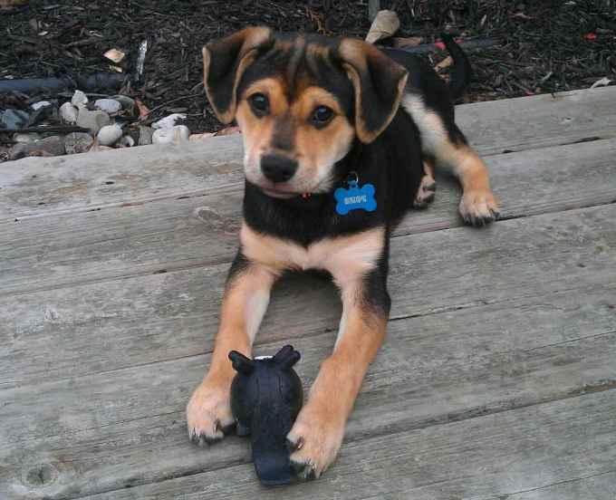 German Shepherd Beagle Puppies