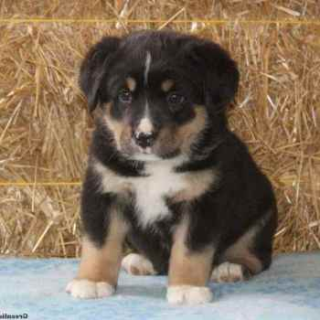 German Shepherd Bernese Mountain Dog Mix Puppies For Sale