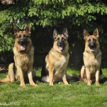 German Shepherd Breeder Ohio