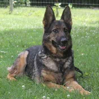 German Shepherd Breeder Tn