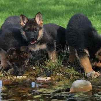 German Shepherd Breeders Az