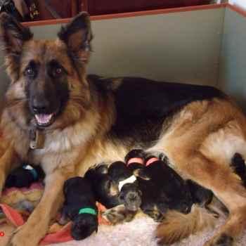 German Shepherd Breeders Cleveland Ohio