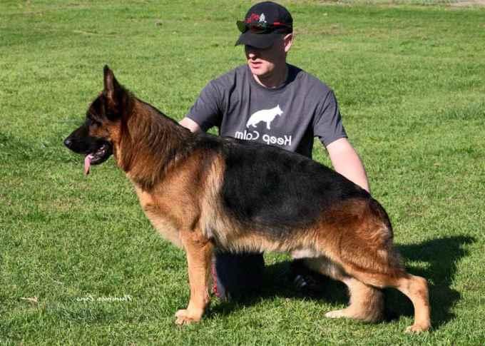 German Shepherd Breeders In California