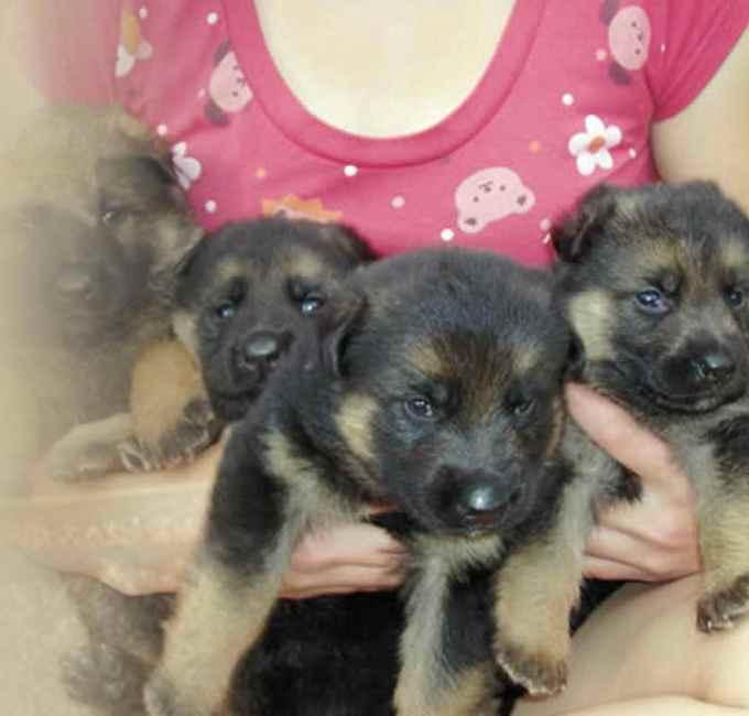 German Shepherd Breeders In North Carolina