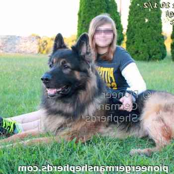German Shepherd Breeders In Pittsburgh Pa