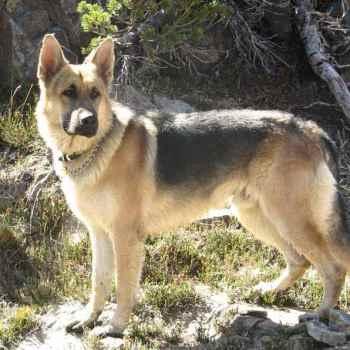 German Shepherd Breeders Northern California