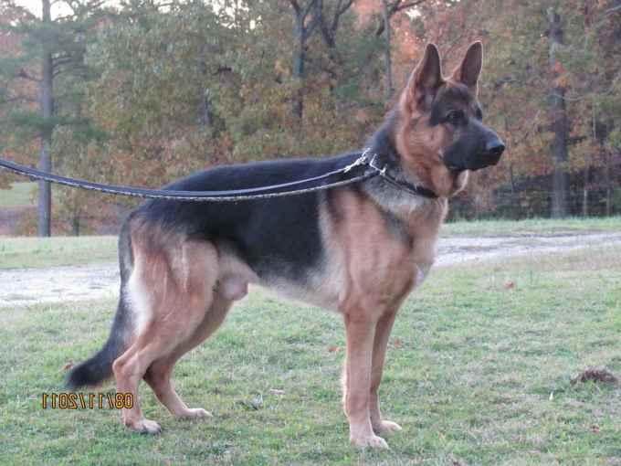 German Shepherd Breeders Sc