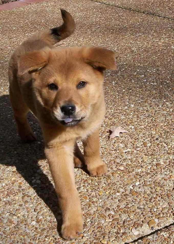 German Shepherd Chow Puppy