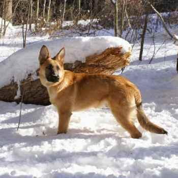 German Shepherd Cold Weather