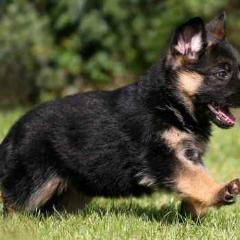 German Shepherd Dog Cost