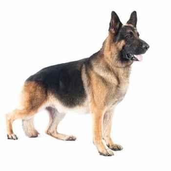 German Shepherd Dog Life Expectancy