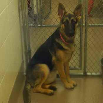 German Shepherd Dog Rescue Of Ga