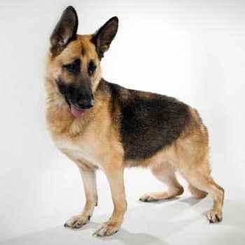 German Shepherd Dogs 101