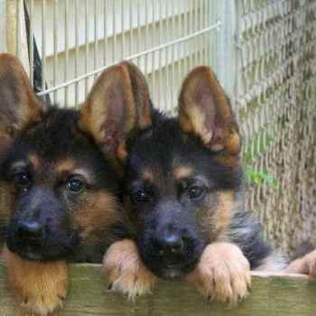German Shepherd Dogs For Sale In Indiana