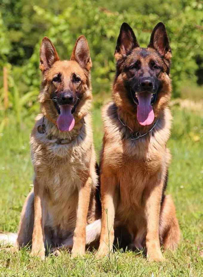 German Shepherd Female Dog