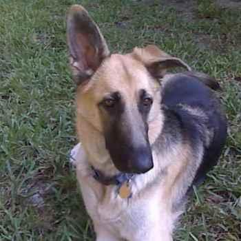 German Shepherd Floppy Ears