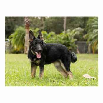 German Shepherd For Sale Bay Area