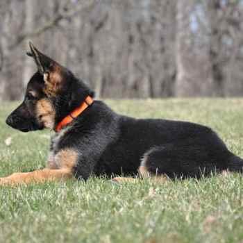 German Shepherd For Sale Il